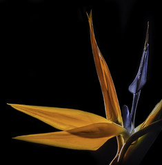 (Bill Gracey) Tags: blue orange flower color nature fleur blackbackground garden colorful glow flor birdofparadise glowing backlit naturalbeauty luminous reflector backlighting homestudio sepals snoot strelitziareginae craneflower offcameraflash tabletopphotography yn560 roguegrid yn560ii yongnuorf603n yn560iii
