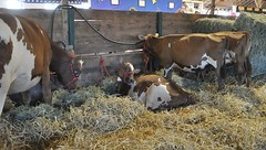 Goshen Fair 2015 (caboose_rodeo) Tags: cows livestock 733 dairycattle connecticutstateagriculturalfairs