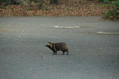 DSC_1506 (My many travels) Tags: japan tokyo shrine shibuya tanuki   raccoon  shinto meiji jingu