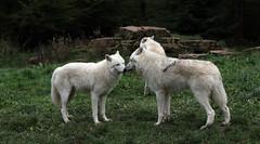 Loups blancs / White wolves (Carahiah) Tags: nature animaux rhodes parc truffe saintecroix museau parcanimalier parcanimalierdesaintecroix