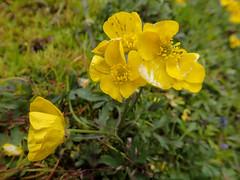 Gelbe Blüten - Wanderung nach Hrafntinnusker, Laugavegur - Trekking auf Island