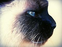 Blue Steel. (Anaxit) Tags: blue face cat eyes blueeyes whiskers bluesteel animaleyes