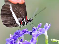 Heliconius sp JVA_0475 (mrjean.eu) Tags: sara sp atlas demi insectes attacus papillons heliconiinae deuil heliconius phaetusa dryatula