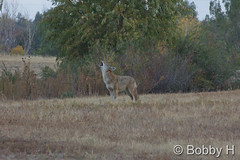 October 18, 2015 - A coyote makes some noise in Thornton. (Bobby H)