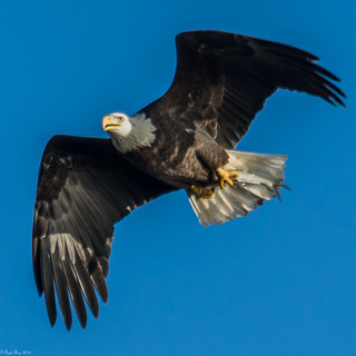 Bald eagle brings home lunch (Explored)