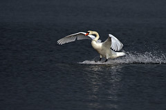 Swan Landing (series) (lens buddy) Tags: birds swan wildlife lancashire waterfowl muteswan pinelake wildfowl carnforth canoneosdigital