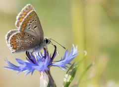 Le Collier de corail - Aricia agestis -  (michel lherm) Tags: papillons lpidoptres ariciaagestis rhopalocres collierdecorail