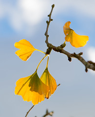 fluttering wings (gilliesavo ( away )) Tags: sky nature beauty backlight butterfly capture gingko fluttering