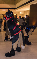 DSC_0045 (Acrufox) Tags: chicago illinois furry midwest december ohare rosemont convention hyatt regency 2014 fursuit furfest fursuiting acrufox mff2014