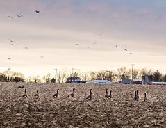 DSC_8653 (louis_mancuso) Tags: winter sunset field geese twilight corn cornfield pennsylvania farm goose pa newtown goldenhour yardley newtownpa flyingsouth newtownpennsylvania geeseflyingsouth shadybrookfarm yardleypa yardleypennsylvania winter2015 shadybrookfarmyardleypa shadybrookfarmyardley gooseflyingsouth
