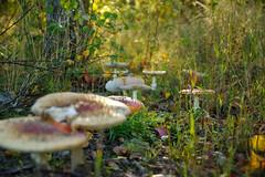 Amanita muscaria (skogstroll77) Tags: red mushroom toxic fungi poison amanitamuscaria amanita rd giftig muscaria flugsvamp rdflugsvamp