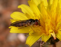 Chamaesyrphus pruinosomaculatus (Habropoda) Tags: fly greece lesvos hoverfly syrphidae hoverflies zweefvlieg chamaesyrphus pelecocera