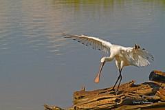 Echasse . ( 1 ) (PACHA23) Tags: fauna wildlife faune zancuda wadingbird chasse chassier stelzvogel