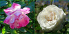 Visiting the Rose Garden (Bennilover) Tags: rose roses winter garden library december california