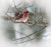 Purple Finch (Wild Birdy) Tags: mn minnesota kabekona laporte usa aba north northwoods bokeh tree branch snow lichen winter cute adorable male purple red raspberry bird wild wildlife animal avian aves finch purplefinch haemorhouspurpureus haemorhous purpureus pine