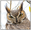 Great Horned Owl (Ed Sivon) Tags: american america canon nature lasvegas wildlife wild western wind southwest sun desert clarkcounty clark flickr vegas great bird birdofprey henderson nevada nevadadesert owl