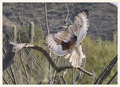 Ferruginous Hawk (gauchocat) Tags: arizonasonoradesertmuseum tucsonarizona