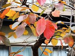 Diospyros kaki-08 (The Tree Library (TreeLib.ca)) Tags: japanesepersimmon diospyroskaki