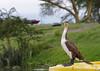 IMGP9327b (Micano2008) Tags: lagonaivasha pentax africa kenia aves cormorangrande phalacrocoraxcarbolucidus
