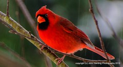 The Christmas Suit (T i s d a l e) Tags: tisdale thechristmassuit cardinal northerncardinal malecardinal bird autumn fall december 2016 easternnc