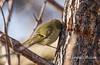 Commensalism (Lindell Dillon) Tags: commensalism symbioticrelationship rubycrownedkinglet nature oklahoma lindelldillon raw winter yellowbelliedsapsucker