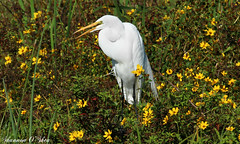 Among the yellow wildflowers (Shannon Rose O'Shea) Tags: shannonroseoshea shannonosheawildlifephotography shannonoshea shannon greategret egret bird white beak feathers yellow flower flowers green nature wildlife waterfowl orlandowetlandspark christmas florida flickr wwwflickrcomphotosshannonroseoshea outdoors canon canoneosrebelt6i canon100400mm14556lis canont6i canoneost6i canonrebelt6i eosrebelt6i eost6i rebelt6i t6i yellowflowers colorful wildflowers