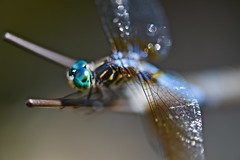 Glistening wings! (ineedathis,The older I get the more fun I have....) Tags: dragonfly odonata insect anisoptera nature summer bokeh pond sculpture zoom bluedasher pachydiplaxlongipennis nikond750 art copper bronze gardenart gardensculpture watergarden verdigris