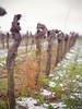 Vine (Lee-man80) Tags: nikon d3100 nikkor 50mm f14 splittone dof vine rebstock süw