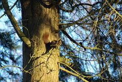 europeo, Sciurus vulgaris, on Metasequoia glyptostroboides (Fabio.Buoso) Tags: sciurus vulgaris scoiattolo europeo