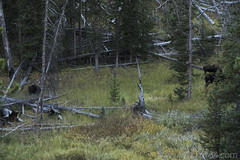 """Bull, cow, and calf Moose along Glen Creek • <a style=""""font-size:0.8em;"""" href=""""http://www.flickr.com/photos/63501323@N07/31865389772/"""" target=""""_blank"""">View on Flickr</a>"""