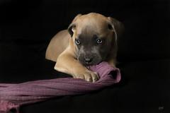 Meliya (aiglo.bulles) Tags: chien dog chiens chiot cane corso puppy studio black eyes regard