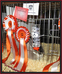 Victory Row (Margaret Edge the bee girl) Tags: smokepearl rex rabbit bradfordchampionshipshow rosettes red grey bottle water cage prize cards ribbons indoors yorkshire animal winner