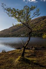 Scotland-26.jpg (paulvwright) Tags: tree landscape fall nikond810 scotland d810 lochawe nikon