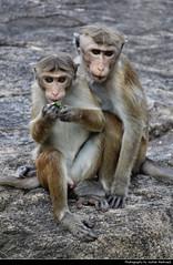 Macaques, Dambulla, Sri Lanka (JH_1982) Tags: macaque macaques cercopithecinae macaca monkey animal animals wildlife nature eating makaken 獼猴 マカク属 마카크 макаки قرد المكاك ลิงแม็กแคก tier tiere dambulla දඹුල්ල 丹布勒 ダンブッラ sri lanka ශ්රී ලංකා இலங்கை 斯里蘭卡 スリランカ 스리랑카 шриланка سريلانكا श्रीलंका ประเทศศรีลังกา