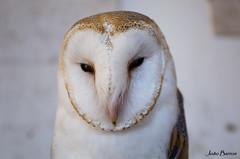 Barn owl (JOAO DE BARROS) Tags: owl bird animal portrait joão barros