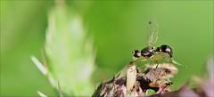 "3aaaol-mier.vlieg.distel-3-7-16-t.huisjes.cr'steyn-leiden-(n.D90-105vr-r.f) (""HansFfloraFauna"" - j fidom) Tags: miervlieg belletje bell insect closeup ant"