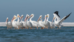 American White Pelicans (PeterBrannon) Tags: americanwhitepelican bird florida fortdesoto nature pelecanuserythrorhynchos pinellascounty water wildlife group