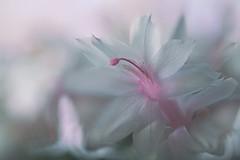 White Cactus Flower (lfeng1014) Tags: whitecactusflower schlumbergera schlumbergeratruncata christmascactus whiteflower macro macrophotography closeup bokeh 100mmf28lmacroisusm canon5dmarkiii depthoffield dof lifeng light soft