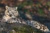 Zoo-Salzburg (mono-foto) Tags: raubtiere raubkatzen zoosalzburg schneeleopard
