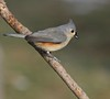 Plotting the Next Move... (Slow Turning) Tags: baeolophusbicolor tuftedtitmouse bird perched tree branch stick winter january2017 southernontario