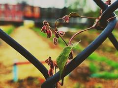 Release me (marcos2077) Tags: ragweed thistle floweringplants horticulture weed wildflowers wildgrass