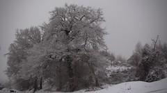 hiver (bulbocode909) Tags: valais suisse nature hiver arbres neige brume