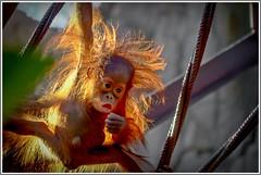 """WOW"" This is scary!!! (ro-co (Back)) Tags: fz200 panasonic bioparkspain fuengirola zoo orangutan babyanimals"