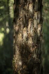 Fern Trunk ((arteliz)) Tags: dandenongs forest explore exploring arteliz artelizphotography photography plant flora plants australia australianplants victoria tree trees fern texture pattern