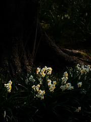 スイセン (Junpei♪) Tags: 水仙 スイセン ニホンスイセン flower nikon d7100 権現堂 花