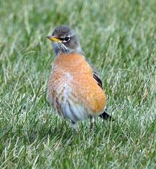 Light colored robin (carpingdiem) Tags: indianapolis spring robin birds