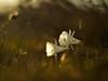 Narcissus cantabricus (luisotespi68) Tags: narcisos flores invierno amarilidáceas bulbos bulbosas naturaleza flora vegetación pétalos autochinon 50mm chinon fondos bokeh