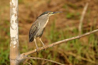 Striated Heron - Butorides striata atricapilla