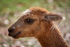non je suis pas poilu (rondoudou87) Tags: pentax k1 parc zoo reynou nature natur lama profil profile portrait smcpda300mmf40edifsdm sauvage mignon