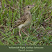 Yellowish Pipit, Anthus lutescens